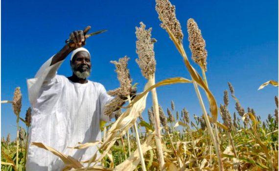 Farmer harvesting sorghum Sudan