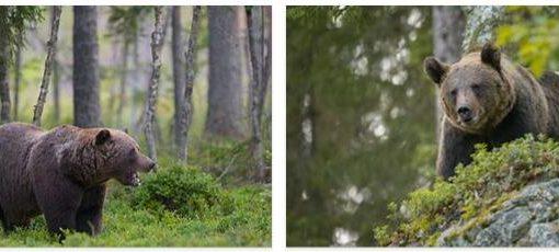 Bears in Sweden